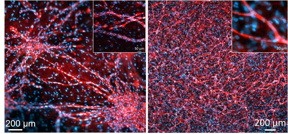 Vascular_networks.jpg